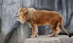 Lion 9 (Emily K P) Tags: milwaukeecountyzoo zoo animal wildlife bigcat cat feline male lion tan yellow grey gray rock roar vocalize breath cold