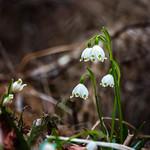 Frühlingsknotenblume 1 thumbnail