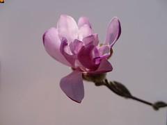 """Rosa Stern-Magnolie - Magnolia stellata Rosea (7 von 12er-Serie) (warata) Tags: 2019 deutschland germany süddeutschland southerngermany schwaben swabia oberschwaben """"upper swabiaschwäbisches oberland badenwürttemberg fruhling spring blume blüte pflanze natur """"magnolia stellata rosea"""" sternmagnolie magnolie nature outside landscape garden"""