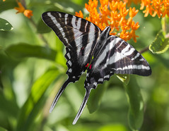 Zebra Swallowtail (Bernie Kasper (6 million views)) Tags: art berniekasper butterfly color colour d600 effect family flower floral flowers fun green hiking indiana indianawildflowers insect insects indianabutterflies jeffersoncounty light landscape leaf leaves love madisonindiana macro nature nikon naturephotography new outdoors outdoor old outside orange butterflyweed photography plant plants photo photos raw sigma summer splinterridgefwa travel trail unitedstates wildflower wildflowers zebraswallowtail