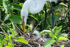 Great egret and chick (arielfischer) Tags: greategret grandeaigrette ardeaalba garcetagrande garçabrancagrande silberreiher большаябелаяцапля aironebiancomaggiore