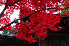 Maple red (plataophoto) Tags: japan koyo autumnleaves autumn red vivid temple koyasan