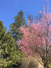 Spring is springing (karma (Karen)) Tags: baltimore maryland neighborhood trees spruce cedar cherry blossoms