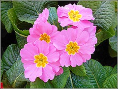 Lovely Pink Primrose .. (** Janets Photos **) Tags: uk pinkflowers primrose plans floraplants macro closeups