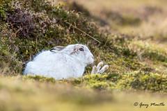 Mountain Hare (Liquidparadox) Tags: mountain hare hi scotland funny wave heather moorland canon winter white animal waving cold windy