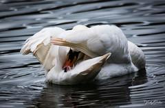 🇬🇧 Mute swan (vickyouten) Tags: muteswan swan nature naturephotography wildlife britishwildlife wildlifephotography nikon nikond7200 nikonphotography sigma sigma150600mmc mosesgate farnworth bolton uk