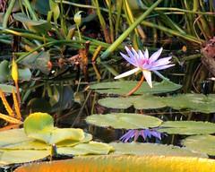 Schönheit im Tropenhaus des Botanischen Gartens (evi früher evioletta) Tags: pflanzen botanischergarten kiel wasser