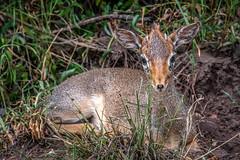 Little Dik Dik [In Explore 4/9/19] (helenehoffman) Tags: africa kenya conservationstatusleastconcern bovidae antelope kirksdikdik mammal maasaimaranationalreservemadoquakirkii dikdik animal coth alittlebeauty coth5