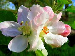 IMG_0021x (gzammarchi) Tags: italia paesaggio natura pianura campagna ravenna borgomontone fiore melo coppia