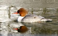 Common Merganser female (Lois McNaught) Tags: commonmerganserfemale bird duck avian nature wildlife hamilton ontario canada reflection