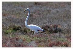 2019-03-13-40001--©-Gerard-MUSSOT (Gerard MUSSOT) Tags: deltedelebre oiseaux faune españa ebro reservenaturele