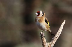 Goldfinch - Holton Lee Dorset-140119 (Ann Collier Wildlife & General Photographer) Tags: goldfinch dorsetwildlife dorset holtonlee birds bird wildlife wildbirds