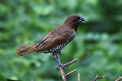 scaly-breasted munia (praveen.ap) Tags: scalybreastedmunia munia tindivanam