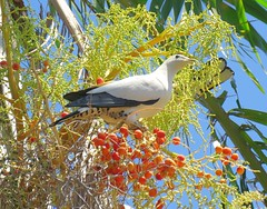 Ducula spilorrhoa 3 (ntfafl) Tags: charles brown botanical gardens darwin nt barry m ralley barrymralley