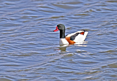 Shelduck - Michael Bird (Michael R Bird) Tags: shelduck wildfowl ducks water lakes rutlandwater oakham rutland michaelbird canon tamron g2 6d 150600mm birds
