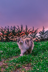 My cute cat at sunset (Vagelis Pikoulas) Tags: beauty beautiful cat kitten animal pet tokina march spring 2019 greece vilia garden yard canon 6d nature sky sunset trees colors colours view landscape
