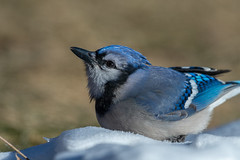 Blue Jay-45673.jpg (Mully410 * Images) Tags: jay birdwatching birding crouch backyard bird birds bluejay birder snow
