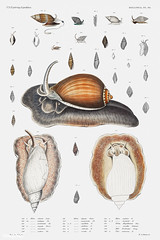 Snail varieties vintage poster (Free Public Domain Illustrations by rawpixel) Tags: animal antique aquatic art augustus augustusaddisongould book cc0 collection creativecommons0 creature decor decoration design drawing expedition free gould illustration images life marine mediterranean mollusc molluscashells mollusk name nautical northatlantic ocean old painting picture poster print publicdomain science scientific scientificexpeditions sea seafood set species variety vintage zoology