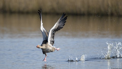 Greylag goose : anser anser (Jerry Hawker) Tags: greylaggoose anseranser goose greylag flight fly flying takeoff water splash