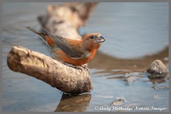 Male Crossbill Drinking (www.andystuthridgenatureimages.co.uk) Tags: crossbill male finch drinking branch water ground pool puddle woodland forest bird animal suffolk