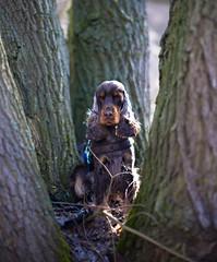 Fokus (Rene_1985) Tags: cocker spaniel leica sl 50mm 095 noctilux outdoor tree bokeh dof wildlife
