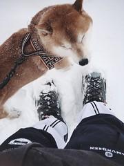 Spring Snow 1 (pjen) Tags: shibainu shibaken nihonken hiro dog shiba koira primitive breed spitz japanese finland 日本犬 柴犬 urajiro 10years winter spring snow ice