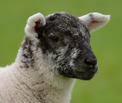 6 Week Old Lamb Portrait (earlyalan90 away awhile) Tags: lamb six weeks old sheep shepherd grasmere cumbria farming agriculture lakedistrict national d800 zoom lens nikon park spring cute fluffy uk
