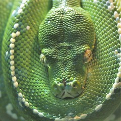 emerald tree boa, Riverbanks Zoo (hennessy.barb) Tags: boa emeraldtreeboa riverbankszoo columbiasc reptile green scales coiled