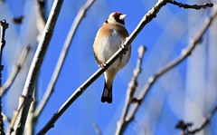 Goldfinch in the sunshine. (pstone646) Tags: goldfinch bird nature animal wildlife colour tree perching high fauna feathers bluesky