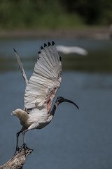 _D509046 (crispiks) Tags: wonga wetlands albury new south wales nikon d500 70200 f28 birdlife