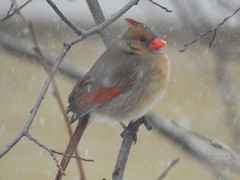 Northern Female Cardinal (Anton Shomali - Thank you for over 2 million views) Tags: miss mrs lady northernfemalecardinal beauty colourful colours colors red bird women branches northern cardinal female black seeds color male snow tree winter food hungry song back yard forest wood leaf midwest eating backyard art beautiful photo picture photography flickr nature closeup