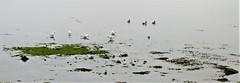 A misty day in Wexford (ronmcbride66) Tags: bay seawater gulls ducks greyday bannowbay cowexford