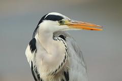 Grey heron (Teruhide Tomori) Tags: nature bird wild kyoto japan japon hirosawanoike pond winter animal greyheron アオサギ 野鳥 広沢池 京都 冬 鳥 動物 野生 日本