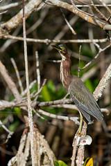 Tricolored Heron (jan.stefka) Tags: canoneos7d usa butoridesvirescens volavkazelenavá greenheron evergladesnationalpark 2019 ef100400 florida