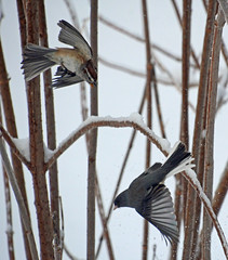 Two sparrows (ctberney) Tags: americantreesparrow darkeyedjunco birds sparrows backyard winter sunshine ontario canada nature
