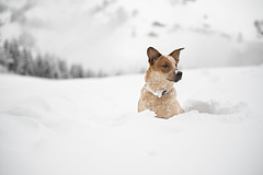 Outback des neiges (Bodow) Tags: chien dog australiancattledog puppy chiot neige alpes 6months 6mois redheeler bouvieraustralien bouvier cattle snow montagne moutain notredamedebellecombe abigfave