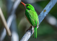 On a Stick, Broad-billed Tody (Todus subulatus), Haiti (MikeM_1201) Tags: broadbilledtody bird animal mangrove nature wildlife tree bos haiti logonauboeuf morning d500