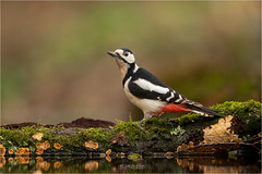 Great Spotted Woodpecker (Gertj123) Tags: animal netherlands nature holterberg hide arjantroost avian bokeh bird water winter moss canon