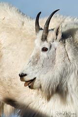 _HB27970 (Hilary Bralove) Tags: colorado wildlife mammals nature outdoors wild animals nikon