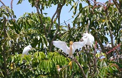 Cattle Egrets (Bubulcus ibis) (Urban and Nature OZ) Tags: cattleegret bird birds egrets bubulcusibis goldcoast waterbird waterbirds herons australianwaterbirds nativebirds australiannativebirds egret cattleegrets