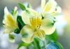 Ethereal in yellow (Pensive glance) Tags: lily lys peruvianlily lilyoftheincas lyspéruvien lysdesincas flower fleur