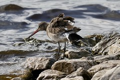 0M2A5071 Black-tailed Godwit (kevin_livesey) Tags: wetlands martinmere wwt bird wader tailed black godwit