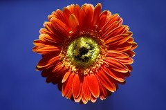 Sun's wheel (Baubec Izzet) Tags: baubecizzet pentax bokeh flower nature cosmos
