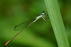Damselfly on a grass blade (Isoba H.) Tags: damselfly insects green grass macro odonata nature