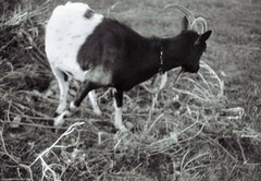 Dangerous goat | Небезпечна коза (Ігор Кириловський) Tags: dangerous goat кириловскийигорь кириловськийігор 35mm 135 bw kirilovskiigor kyrylovskyy chernivtsi tschernowitz ukraine viewfinder agfaoptima1035sensor agfa solitars40mmf28 film fomapan200creative rodenstock yellowmedium8 fotofond kyiv