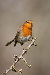 ROBIN (RHIAN MAI) Tags: robin robinredbreast red orange colour bird gardenbird twig life wildlife wales nature outdoors animal