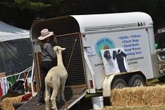 DSC_5100 (VAYG) Tags: vay vytec paraders aaa victorian alpaca association youth australian australia iar 2019 alpacas alpacalypse crystal cove profarma jay hall athena melbourne show redhill red hill