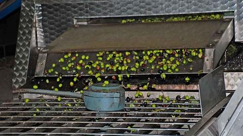 Washed olives