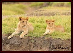 PAIR OF LION CUBS (Panthera leo)....MASAI MARA.....OCT 2012 (M Z Malik) Tags: nikon d3x 200400mm14afs kenya africa safari wildlife masaimara keekoroklodge exoticafricanwildlife exoticafricancats flickrbigcats lioncubs leo pantheraleo ngc npc