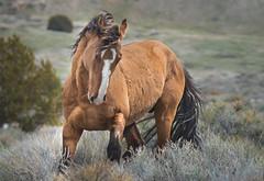 onaqui horses3 (1 of 1) (Jami Bollschweiler Photography) Tags: onaqui horse wild stallion ghost utah wildlife photography